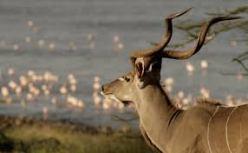 kudu2