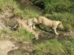 Lions on the river by the lodge