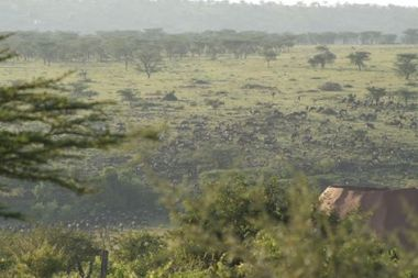 Wildebeest migration near the lodge