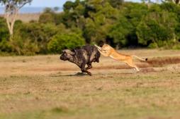 lion hunting buffalo in the maasai mara
