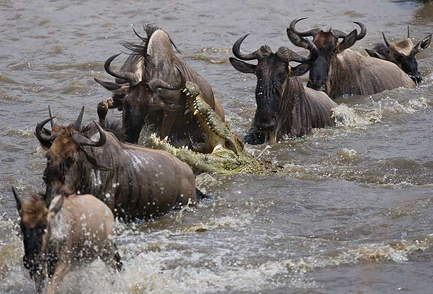 Nile-Crocodile-attacking-wildebeest-in-the-Mara-river-Masai-Mara-Kenya