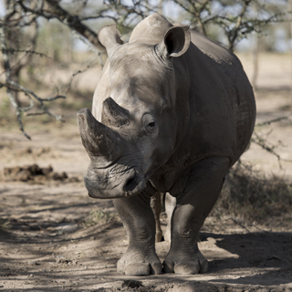 Northern-White-Rhino-Sub-Page-Teaser-Image1