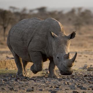Southern-White-Rhino-Subpage-Teaser-Image