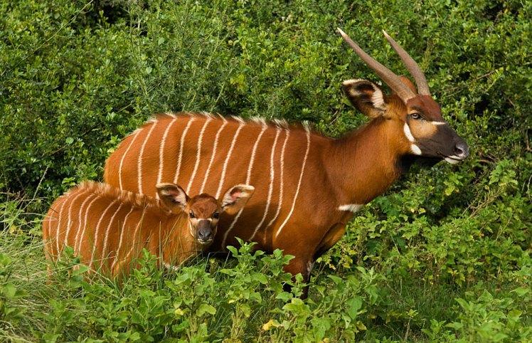 Aberdare_National_Park_bongo.jpg